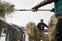 Cattle feeding on the Mead Ranch in Spring Gulch, Jackson Hole, Wyo.