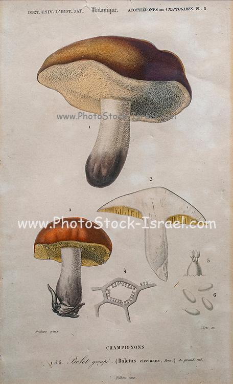 Hand coloured botanical lithograph of Boltus mushroom. Boletus is a genus of mushroom-producing fungi, comprising over 100 species.