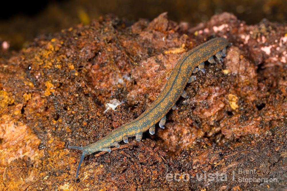 A New Zealand peripatus or velvet-worm (Peripatoides novaezealandiae) crawls over wooden debris on a rotten log on the forest floor. Kahuranaki, Hawkes Bay, New Zealand. September.