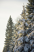 Snow covered spruces (Picea abies) in golden sunlight, Tīreļpurvs, Latvia Ⓒ Davis Ulands | davisulands.com