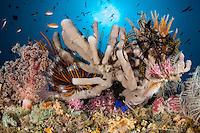 Soft Corals, Sponges, Sunburst, and Hawkfish<br /> <br /> Shot in Indonesia