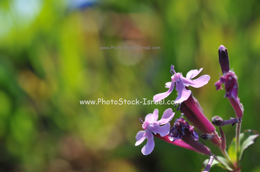 Close up Pink Egyptian Campion (Silene aegyptiaca) flower on natural green background. Photographed in Israel