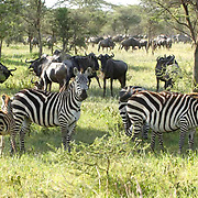 Burchell's Zebra (Equus burchelli) Mother with her young. During migration in Serengeti National Park, more than 200,000 zebras migrate along side one million wildebeest and 300,000 Thomson's gazelles. Tanzania. Africa. February.