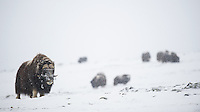 A group of Musk Oxen, Ovibos moschatus, is feeding during a blizzard across Dovrefjell NP, Norway.