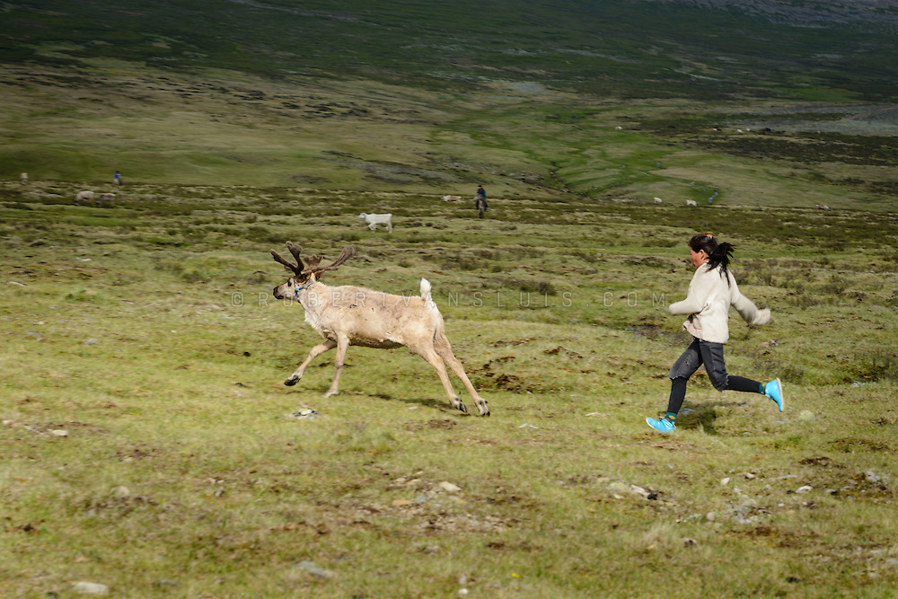 Dukha (Tsaatan) woman chasing a reindeer back to its herd. Approximately 200 families comprise the Tsaatan or Dukha community in northwestern Mongolia, whose existence is intimately linked to their herds of reindeer. Photo © Robert van Sluis