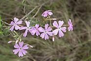 Polemoniaceae (Phlox Family)