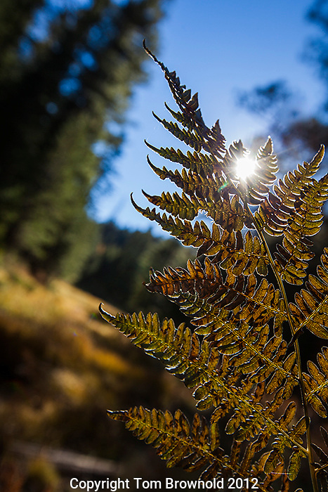 Fern at the end of the summer starting to turn brown. Mogollon Rim
