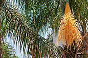 Flowering Dypsis decaryi AKA Triangle palm photographed in Israel in May