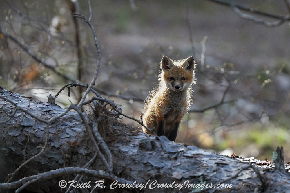 Red fox kit backlit by setting sun.