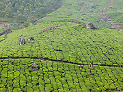 Tea pickers in the morning, in Munnar, a hill station in Kerala, India