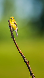 Mr. Goldfinch Poses On A Stick For A Quick Shot