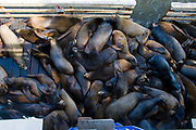 Sea Lions, Santa Cruz Municipal Wharf, California, USA