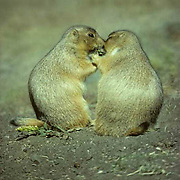 """Prairie Dog, (Cynomys ludovicians) Pair outside of den on prairie, """"kssing"""", a form of recognition. .Prairie Dog, (Cynomys ludovicians) Pair outside of den on prairie, """"""""kssing"""""""", a form of recognition"""