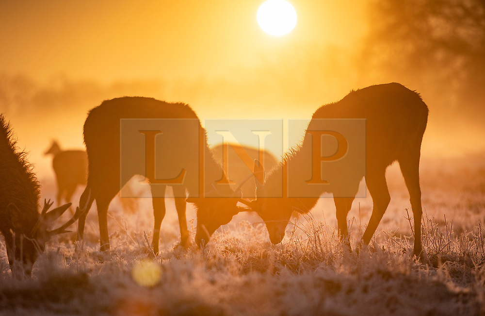 © Licensed to London News Pictures. 06/02/2020. London, UK. Deer lock antlers on a misty morning in Bushy Park, south west London. After a period of clear and cold days, rain and wind are forecast for the next few days as the UK feels the effects of Storm Ciara. Photo credit: Peter Macdiarmid/LNP