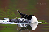 Common loon grooming on a mountain lake