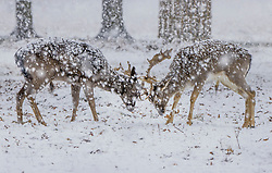 © Licensed to London News Pictures. 24/01/2021. London, UK. Two deer lock antlers in a snowy Bushy Park in south west London. A band of snow is crossing the south east this morning as temperature remain just above freezing. Photo credit: Peter Macdiarmid/LNP