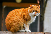 Closeup of a ginger cat