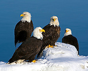 Bald Eagle, Haliaeetus leucocephalus, on icebergs, Kenai Peninsula, Homer Spit, Homer, Alaska. Digital original, #2006_0713 ©Robin Brandt