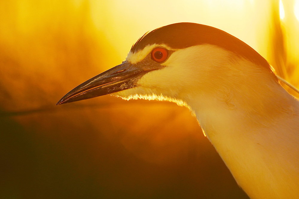 Black-capped Night heron, Nycticorax nycticorax, feeding on cyprionid fish/carp species in fish farm pond, at Pusztaszer protected landscape, Kiskunsagi, Hungary