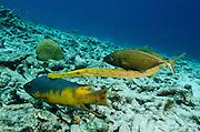 Spanish Hogfish (Bodianus rufus), Trumpetfish, (Aulostomus maculatus) & Bar Jack (Caranx ruber)<br /> BONAIRE, Netherlands Antilles, Caribbean<br /> HABITAT & DISTRIBUTION: Reefs<br /> Florida, Bahamas, Caribbean, Gulf of Mexico, Bermuda & south to Brazil.