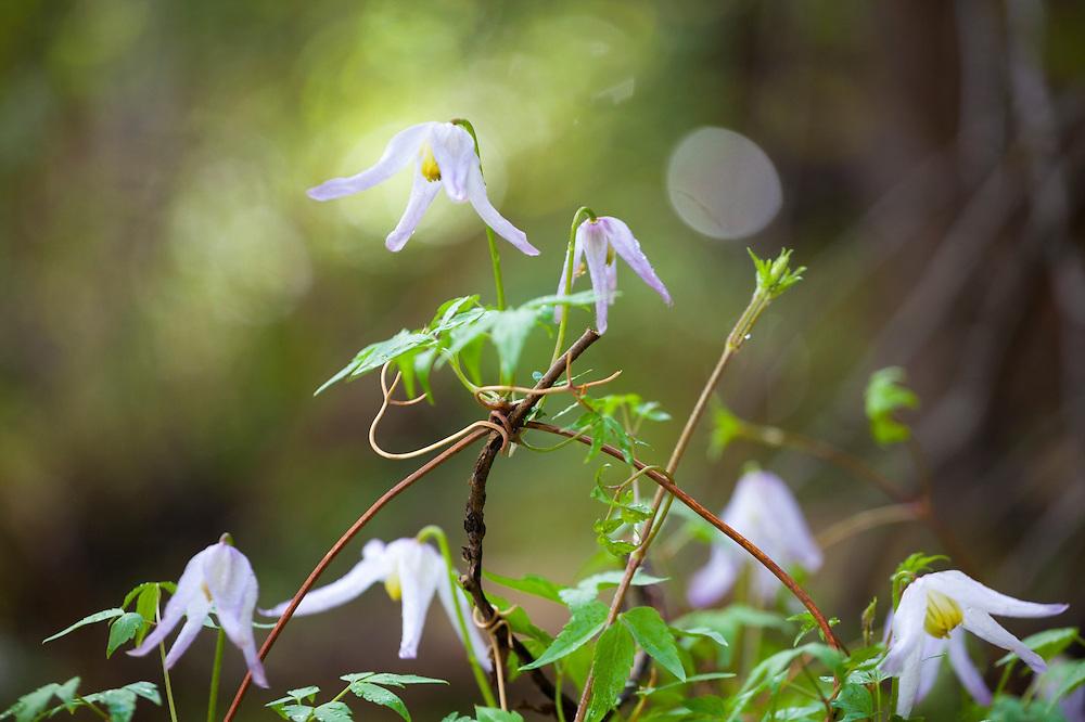 Rock clematis (Clematis columbiana), Lost Creek Wilderness, Colorado.