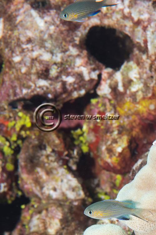 Blackfin Chromis, Chromis vanderbilti, Fowler, 1941, Maui, Hawaii