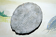 fossil trilobite, extinct marine arthropod from <br /> Paleozoic Era, 600 - 250 million years ago,<br /> Archaeological Museum, Trelew, Patagonia, Argentina