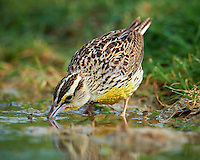 Meadowlark Drinking at a Pond. Campos Viejos Ranch in Southern Texas. Image taken with a Nikon D4 camera and 600 mm f/4 VR lens (ISO 640, 600 mm, f/5.6, 1/2000 sec).