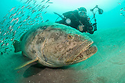 An underwater photographer swims alongside a Goliath Grouper and Cigar Minnows near the Mispah shipwreck offshore Singer Island, Florida during the summer of 2014.