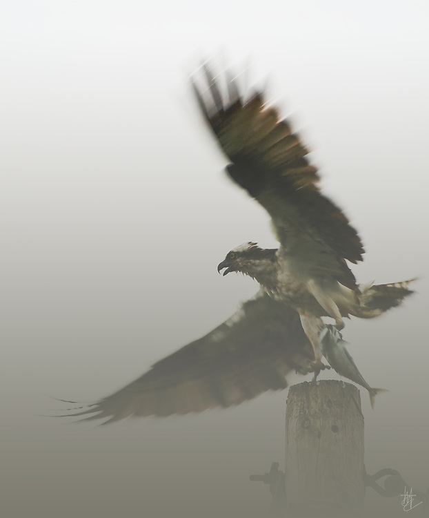 SUBJECT: Osprey with fish. IMAGE: With a fish, newly caught, an Osprey takes off in the mist for its Aerie and young brood.