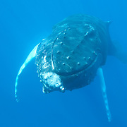 Humpback Whale (Megaptera novaeangliae) underwater. Caribbean Ocean
