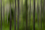 In-camera motion blur of birch trees In Chugach National Forest in Southcentral Alaska. Summer. Morning.