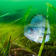 A lumpfish or lumpsucker (Cyclopterus lumpus) hiding in eelgrass (Zostera marina), a type of seagrass, in Terra Nova National Park, Newfoundland, Canada. Lumpfish are hunted for the eggs and are Vulnerable to extinction.