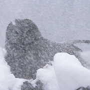 Great Gray Owl (Strix nebulosa) female in a driving snowstorm during the spring in Montana.