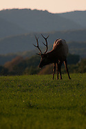 Elk in the shadows as the sun sets on a field in PA.