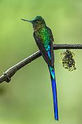 Violet-Tailed Sylph (Aglaiocercus kingi)<br /> Mashpi Rainforest Biodiversity Reserve<br /> Pichincha<br /> Ecuador<br /> South America