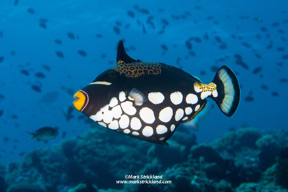 Clown Triggerfish, Balistoides conspicillum, Puerto Galera, Mindoro,  Philippines, Pacific Ocean