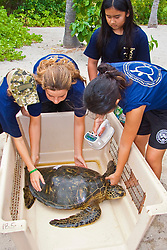 Students from Hawaii Preparatory Academy (HPA), scanning for an existing microchip embedded in the flipper of Green Sea Turtle, Chelonia mydas, Sea Turtle Research station, organized by researcher George Balazs, PhD, NOAA National Marine Fisheries Service (NMFS), HPA students and teachers (NOAA/HPA Marine Turtle Program), and ReefTeach volunteers at Kaloko-Honokohau National Historical Park, Kona Coast, Big Island, Hawaii, USA, Pacific Ocean