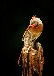 A female Northern Cardinal perched atop an old, decaying tree stump basking in what little light is left in the day, just out of reach from the shadows of the woods behind her.