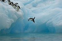 Adelie Penguin (Pygoscelis adeliae) diving off iceberg.  Devil Island, Antarctica.