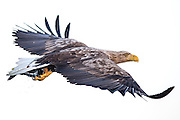 White-tailed eagle flying with a fish in it's claws   Havørn flyr med en fisk i klørne.