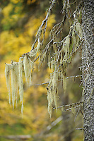 Usnea filipendula on a Spruce, Picea abies (L.) H. Karst, Oulanka, Finland.