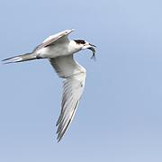 Common tern (Sterna hirundo) with fish that it has just caught, Hyporhamphus sp. (perhaps limbatus)