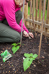 Sowing runner bean seeds directly in ground if there are any gaps. Phaseolus coccineus