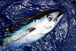 yellowfin tuna or `A-hi in Hawaiian, .Thunnus albacares, .Kona, Big Island, Hawaii (Pacific).