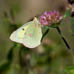 A butterfly on clover in Stratford, New Hampshire. Pink-edged Sulphur, Colias interior.