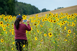 © Licensed to London News Pictures. 22/08/2021. CHORLEYWOOD, UK.  A member of a local walking group views sunflowers currently in bloom in a field in Chorleywood, Hertfordshire.  As well as being attractive to pollinators, the sunflower seeds will provide food for birds during the autumn.  Photo credit: Stephen Chung/LNP
