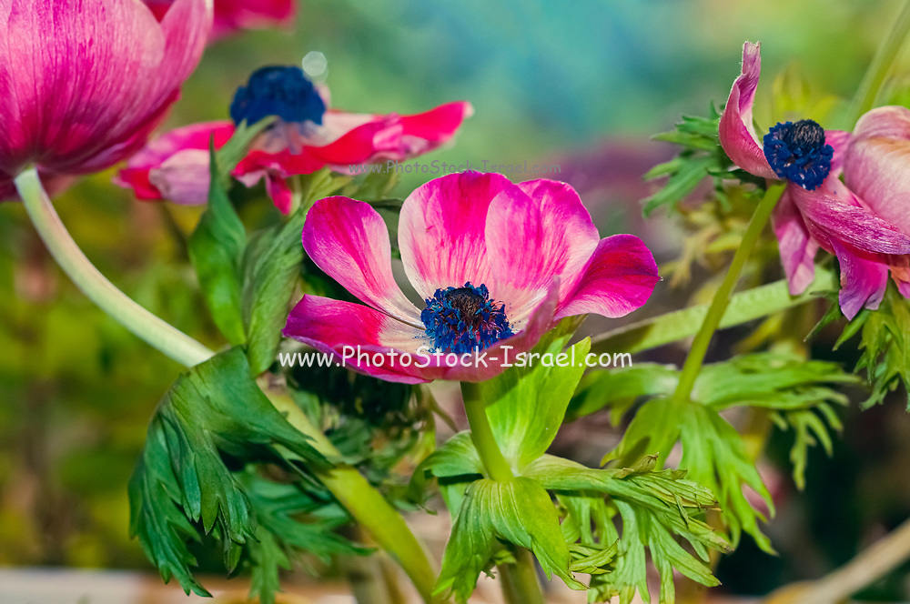 A wilting bouquet of cultivated Red and purple Anemone coronaria flowers