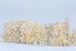 Autumn Storm,  snow laden aspens in full autumn bloom, Jackson Hole Wyoming