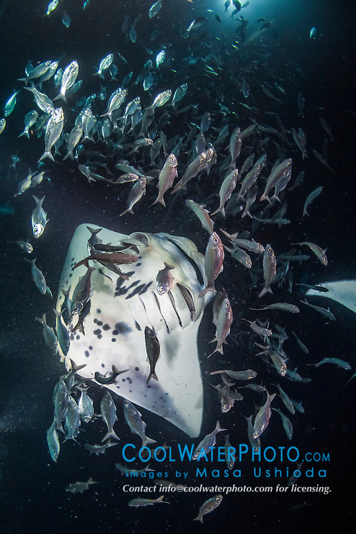 reef manta ray, Manta alfredi, feeding frenzy with reticulated flagtail, Kuhlia sandvicensis,  at night, funneling plankton gathered around divers' artificial lights, dive site: Manta Heaven, Kona Coast, Big Island, Hawaii, USA, Pacific Ocean